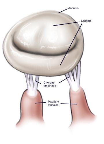 Normal mitral valve