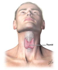 thyroid anatomy