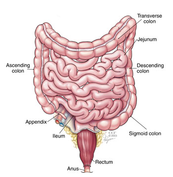 Large intestine, transverse colon, ascending colon, jejunum, descending colon, sigmoid colon, ileum, appendix, rectum, anus