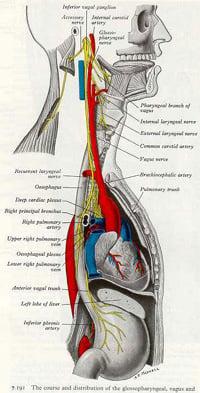 The Brain Vagal Nerve   Cleveland Clinic