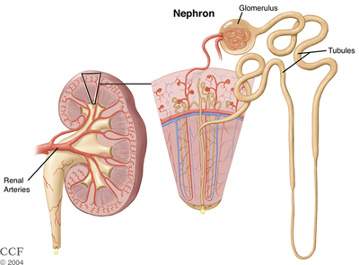 Diagram of Kidney, Nephrons and Glomerulus