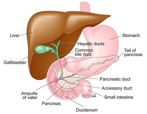 Illustration of the the liver, stomach and intenstinal tract