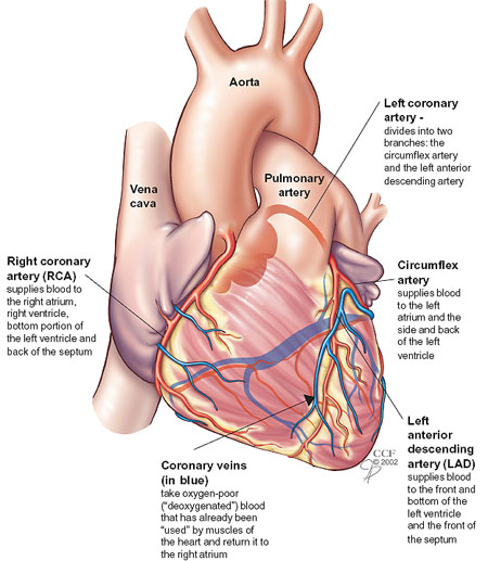 Your Coronary Arteries