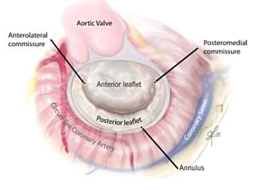 Your Mitral Valve