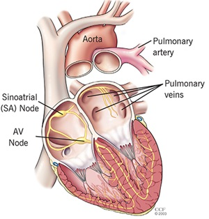 Pulmonary Vein Ablation Procedure: Electrical System of the Heart